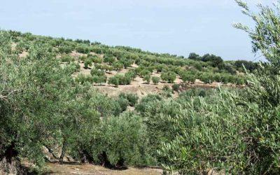 ¿Por qué es bueno consumir aceite de olivar tradicional?