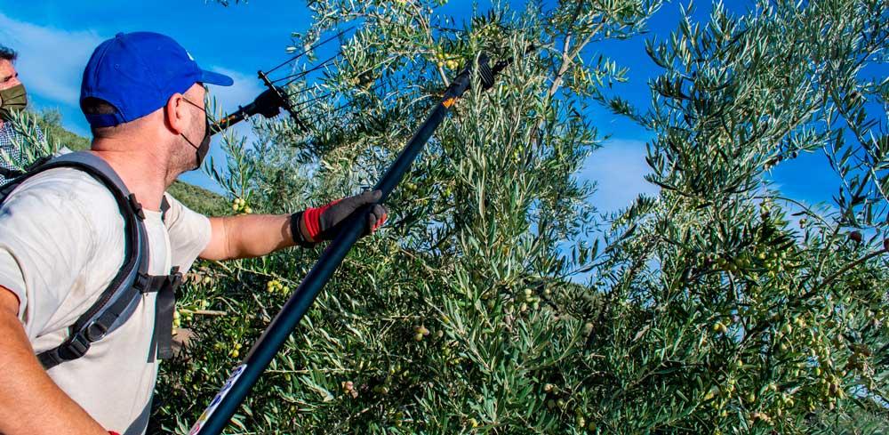 Inicio de campaña para aceite de oliva temprano